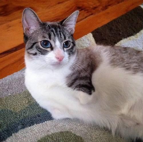 Roux, la gatta nata con due zampe 4
