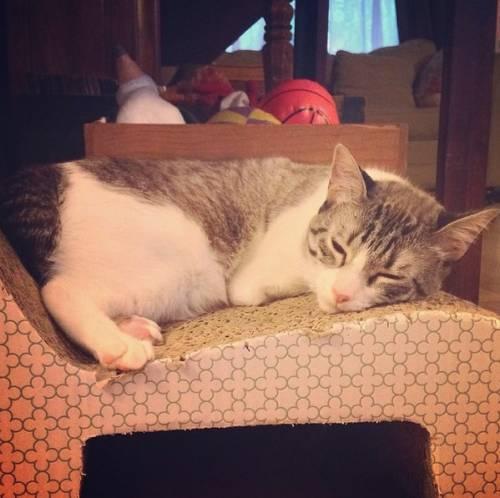 Roux, la gatta nata con due zampe 5