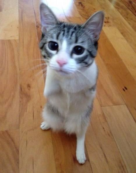 Roux, la gatta nata con due zampe 7
