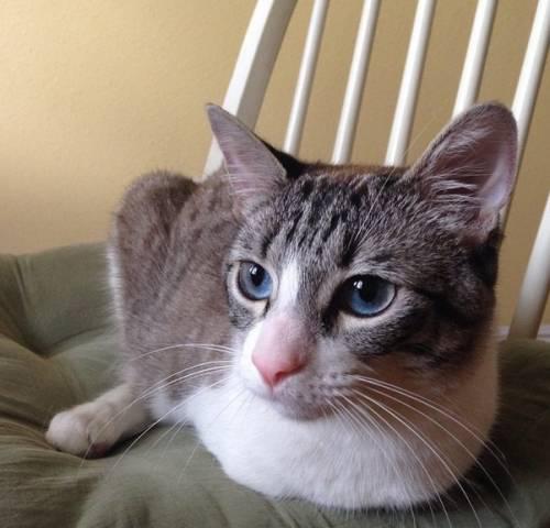 Roux, la gatta nata con due zampe 13