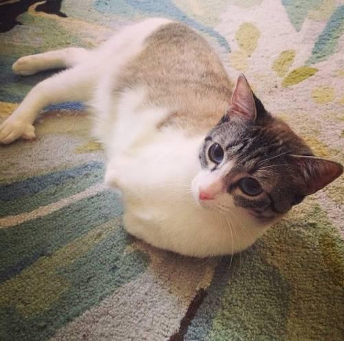 Roux, la gatta nata con due zampe 20