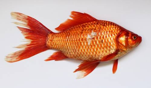 Vietato gettare pesci rossi nel WC