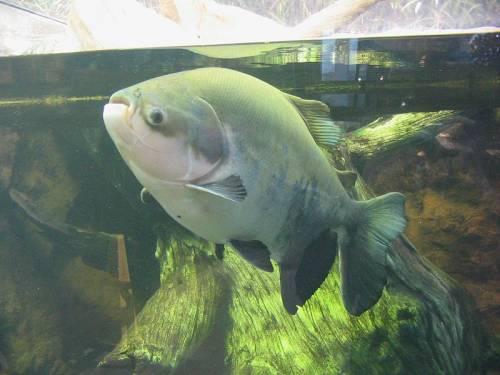 Pesce Pacu, Wikipedia