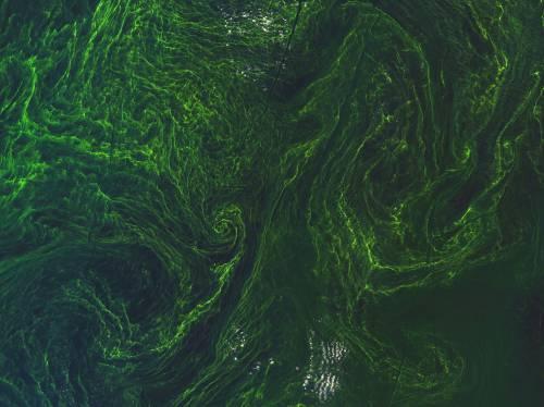 La tempesta di alghe nel Mar Baltico 5