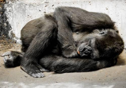 La storia di Ivan, il gorilla  che amava dipingere