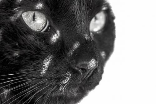 Gatto nero, foto 4
