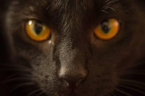 Gatto nero, foto 7
