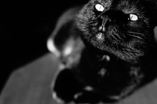 Gatto nero, foto 5