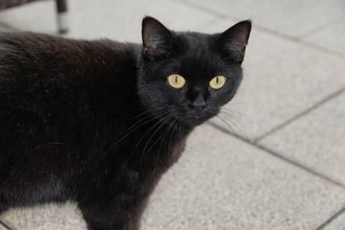 Gatto nero, foto 6