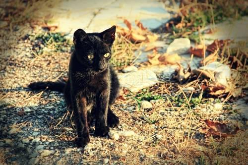 Gatto nero, foto 11