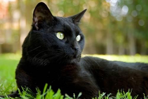 Gatto nero, foto 14
