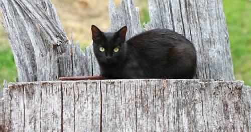 Gatto nero, foto 12