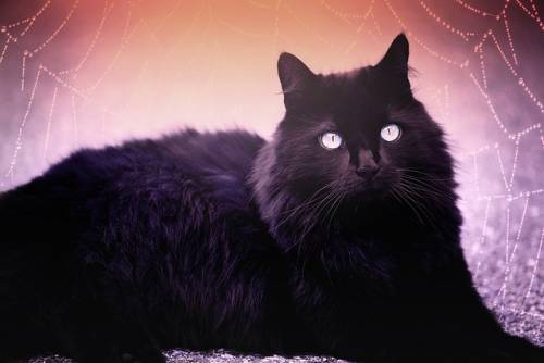 Gatto nero, foto 13