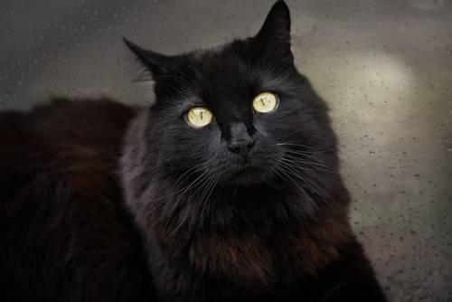 Gatto nero, foto 15