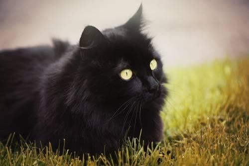 Gatto nero, foto 2