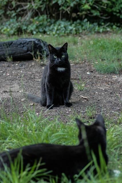 Gatto nero, foto 22