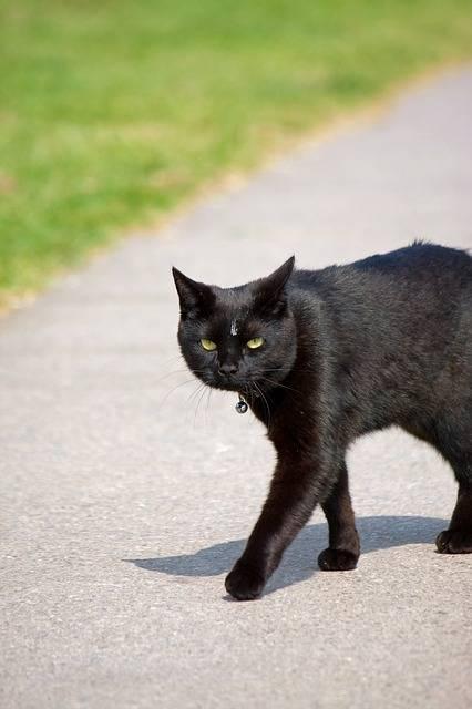 Gatto nero, foto 25