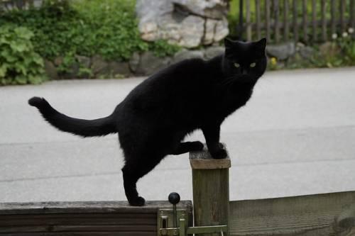 Gatto nero, foto 24