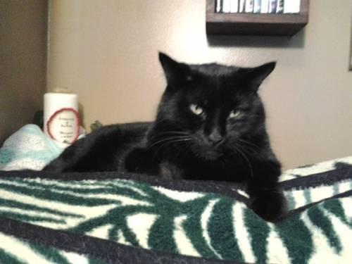 Gatto nero, foto 26