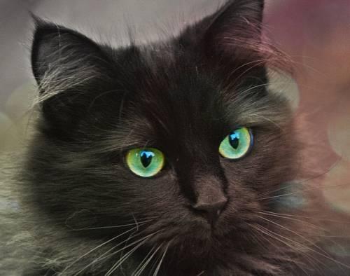 Gatto nero, foto 29