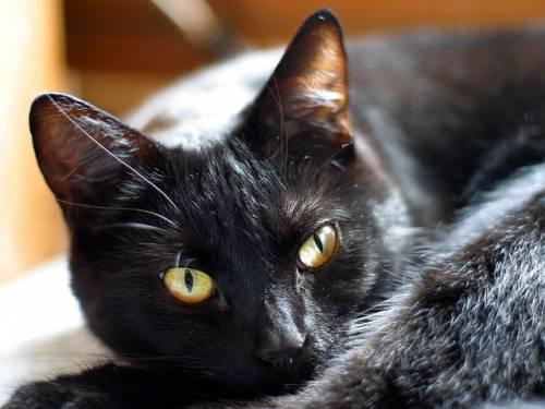 Gatto nero, foto 33