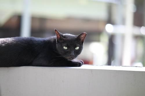 Gatto nero, foto 39
