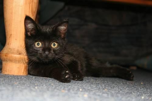 Gatto nero, foto 37