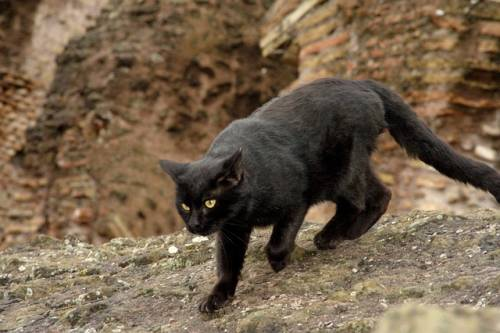Gatto nero, foto 38