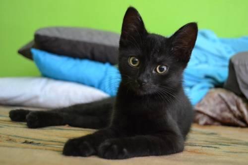 Gatto nero, foto 21