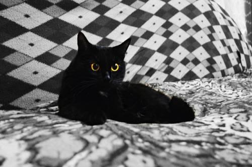 Gatto nero, foto 42