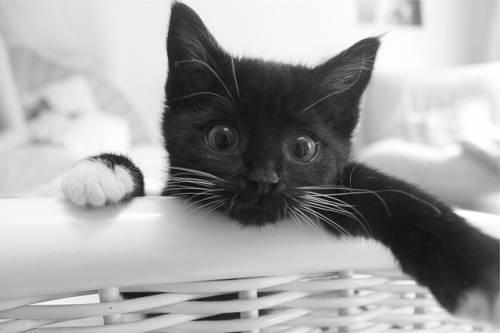 Gatto nero, foto 43