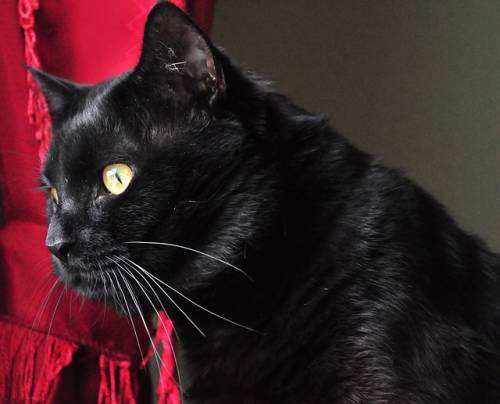Gatto nero, foto 44