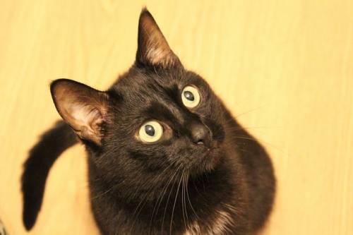 Gatto nero, foto 45
