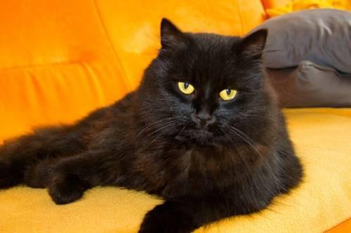 Gatto nero, foto 49