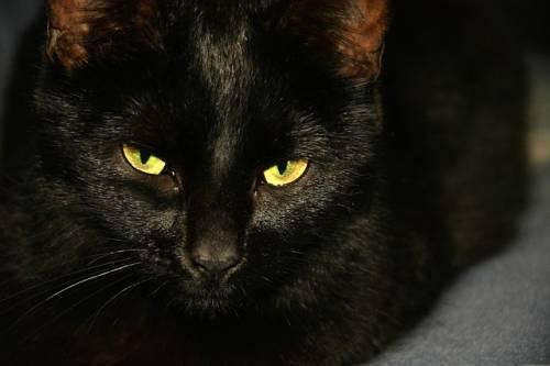 Gatto nero, foto 47