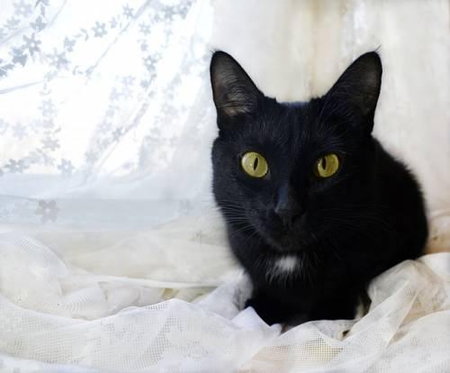 Gatto nero, foto 51