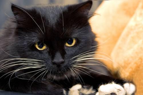 Gatto nero, foto 50