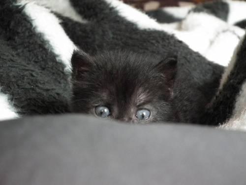 Gatto nero, foto 52
