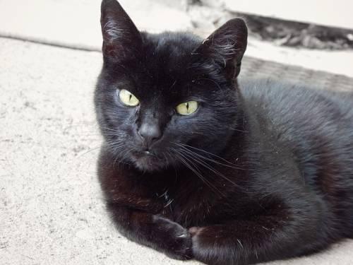Gatto nero, foto 41