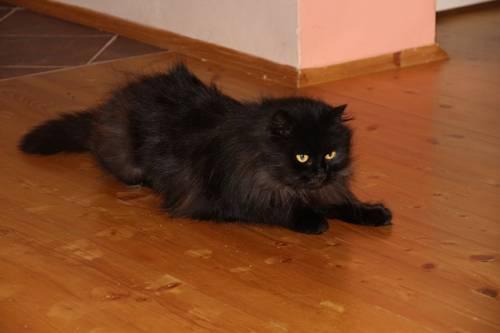 Gatto nero, foto 54