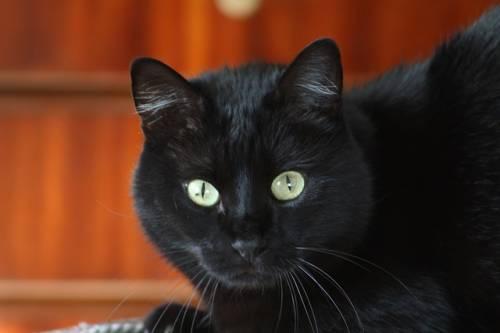 Gatto nero, foto 59