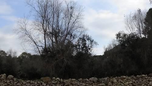 """Gallipoli, l'epicentro del focolaio dove gli ulivi """"sono stati lasciati morire"""" 4"""