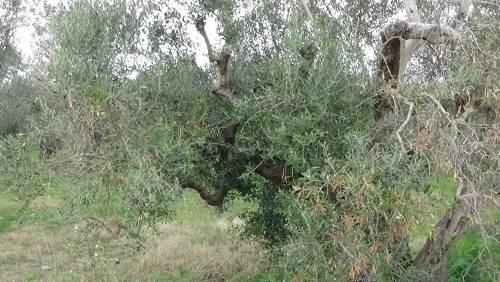 """Gallipoli, l'epicentro del focolaio dove gli ulivi """"sono stati lasciati morire"""" 11"""