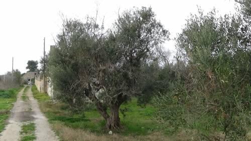 """Gallipoli, l'epicentro del focolaio dove gli ulivi """"sono stati lasciati morire"""" 10"""