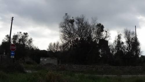 """Gallipoli, l'epicentro del focolaio dove gli ulivi """"sono stati lasciati morire"""" 9"""