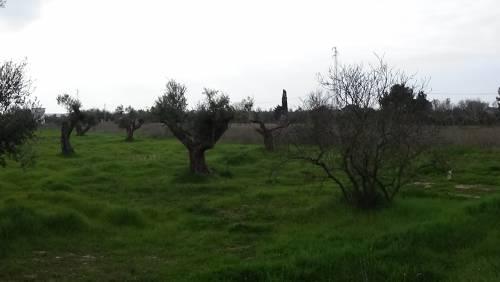 """Gallipoli, l'epicentro del focolaio dove gli ulivi """"sono stati lasciati morire"""" 13"""