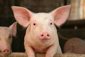 Una città danese obbliga le mense pubbliche a servire carne di maiale