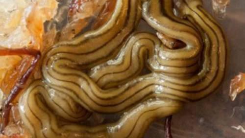 Vermi velenosi in Italia: ecco cosa si rischia