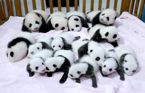 In Cina un centro zoologico di ricerca assume babysitter per cuccioli di panda