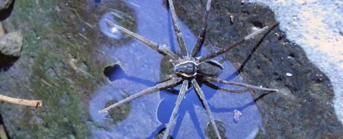Scoperta una nuova specie di ragno: nuota e mangia i pesci